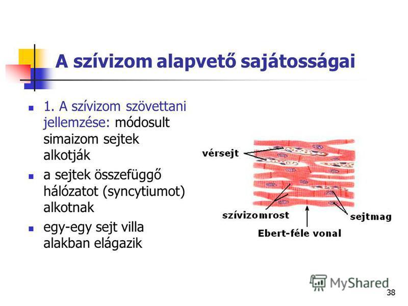 38 A szívizom alapvető sajátosságai 1. A szívizom szövettani jellemzése: módosult simaizom sejtek alkotják a sejtek összefüggő hálózatot (syncytiumot) alkotnak egy-egy sejt villa alakban elágazik