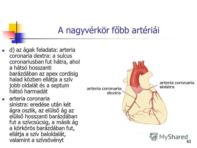 63 A nagyvérkör főbb artériái d) az ágak feladata: arteria coronaria dextra: a sulcus coronariusban fut hátra, ahol a hátsó hosszanti barázdában az apex cordisig halad közben ellátja a szív jobb oldalát és a septum hátsó harmadát arteria coronaria si
