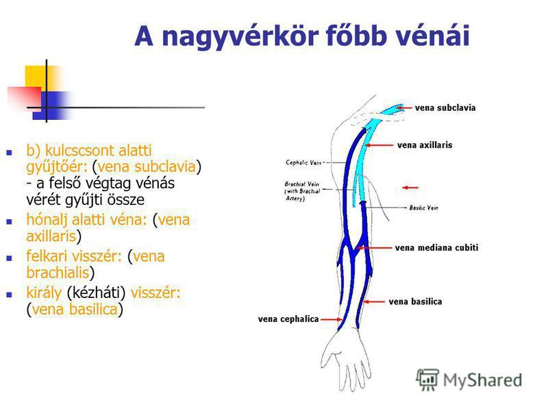 81 A nagyvérkör főbb vénái b) kulcscsont alatti gyűjtőér: (vena subclavia) - a felső végtag vénás vérét gyűjti össze hónalj alatti véna: (vena axillaris) felkari visszér: (vena brachialis) király (kézháti) visszér: (vena basilica)