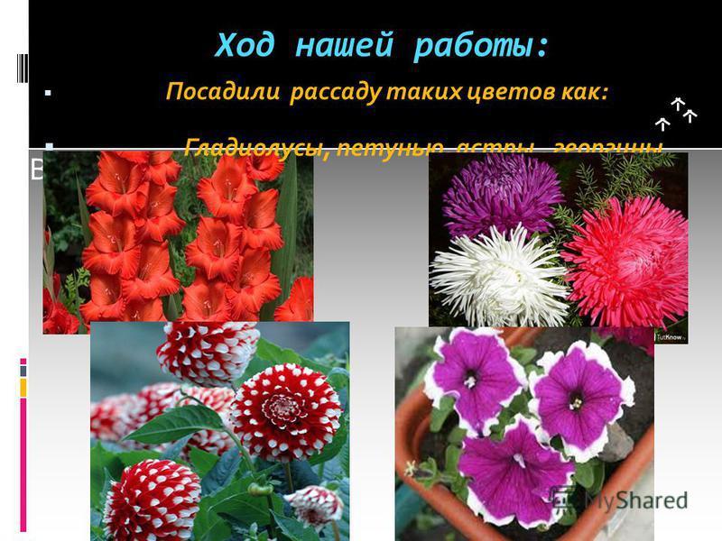 Вставка рисунка Ход нашей работы: Посадили рассаду таких цветов как: Гладиолусы, петунью, астры, георгины.