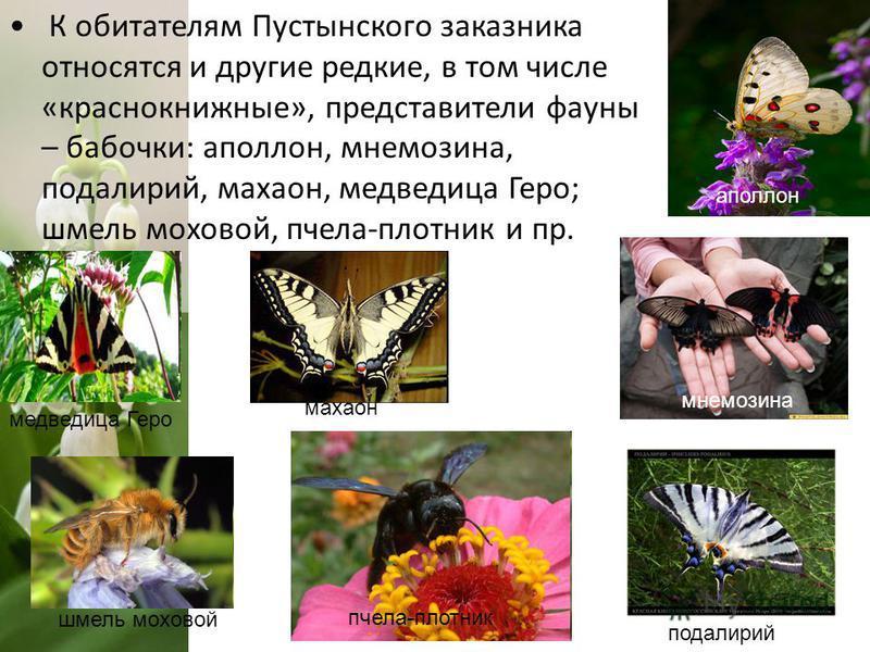К обитателям Пустынского заказника относятся и другие редкие, в том числе «краснокнижные», представители фауны – бабочки: аполлон, мнемозина, подалирий, махаон, медведица Геро; шмель моховой, пчела-плотник и пр. медведица Геро пчела-плотник шмель мох