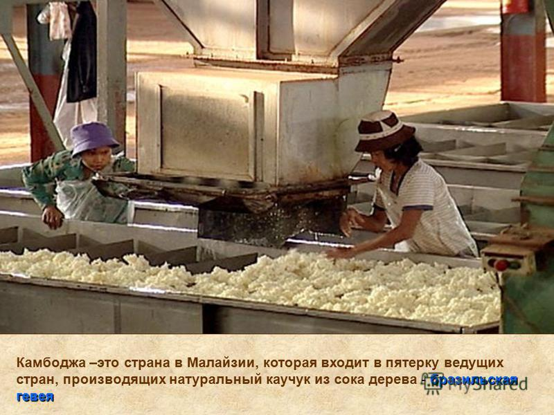 бразильская гевея Камбоджа –это страна в Малайзии, которая входит в пятерку ведущих стран, производящих натуральный каучук из сока дерева - бразильская гевея