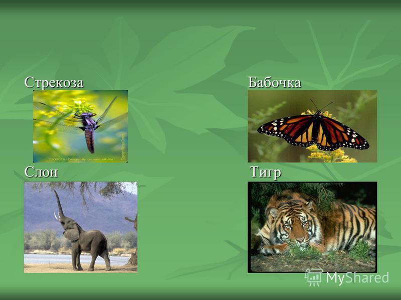 Стрекоза Бабочка Слон Тигр