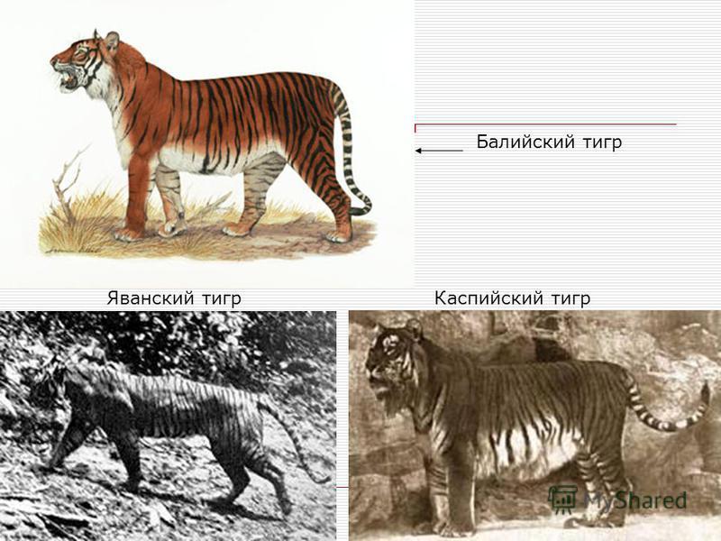 Яванский тигр Каспийский тигр Балийский тигр