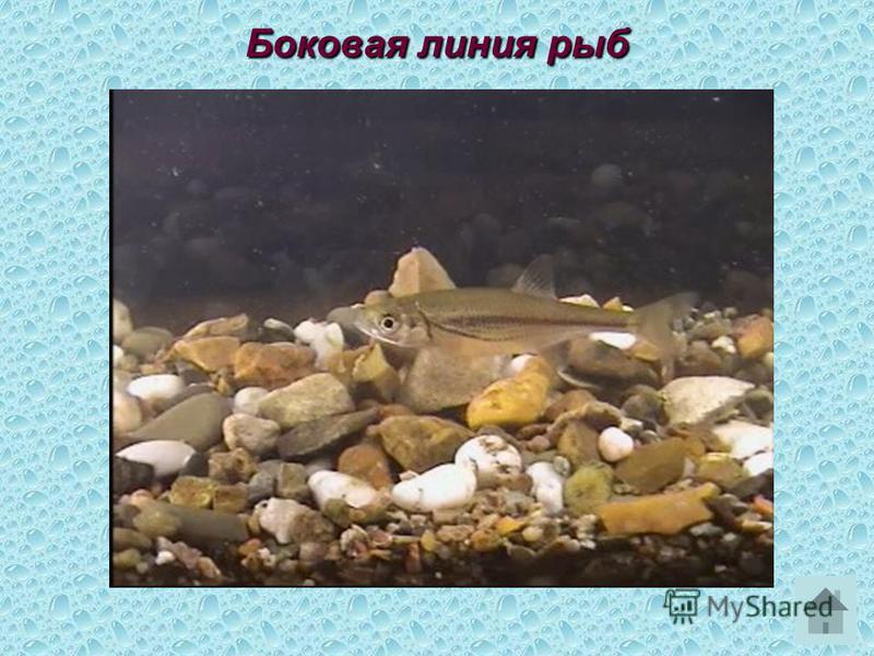 Боковая линия рыб
