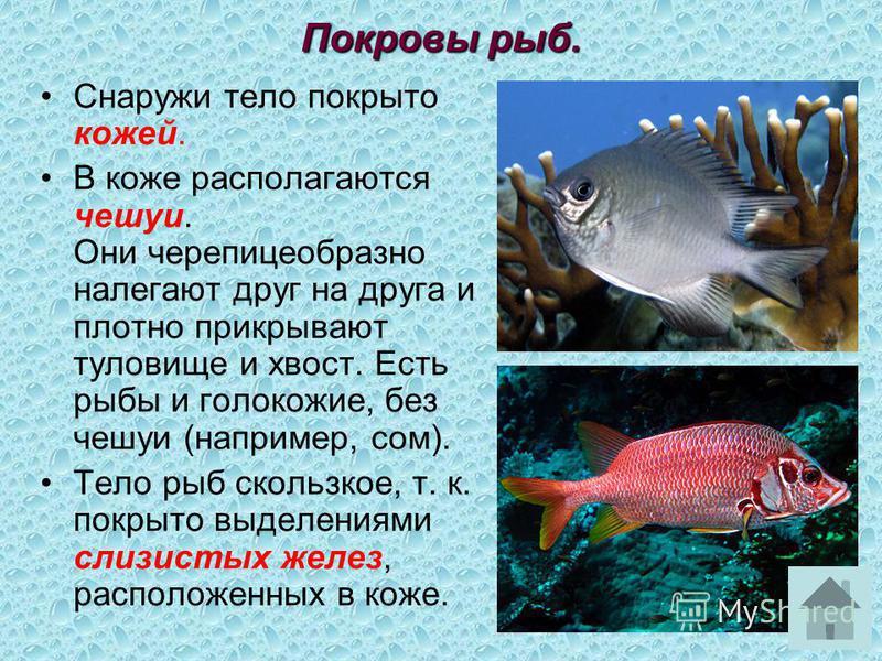 Снаружи тело покрыто кожей. В коже располагаются чешуи. Они черепицеобразно налегают друг на друга и плотно прикрывают туловище и хвост. Есть рыбы и иглокожие, без чешуи (например, сом). Тело рыб скользкое, т. к. покрыто выделениями слизистых желез,
