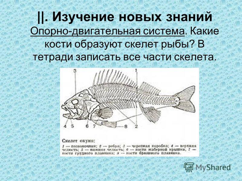 ||. Изучение новых знаний Опорно-двигательная система. Какие кости образуют скелет рыбы? В тетради записать все части скелета.