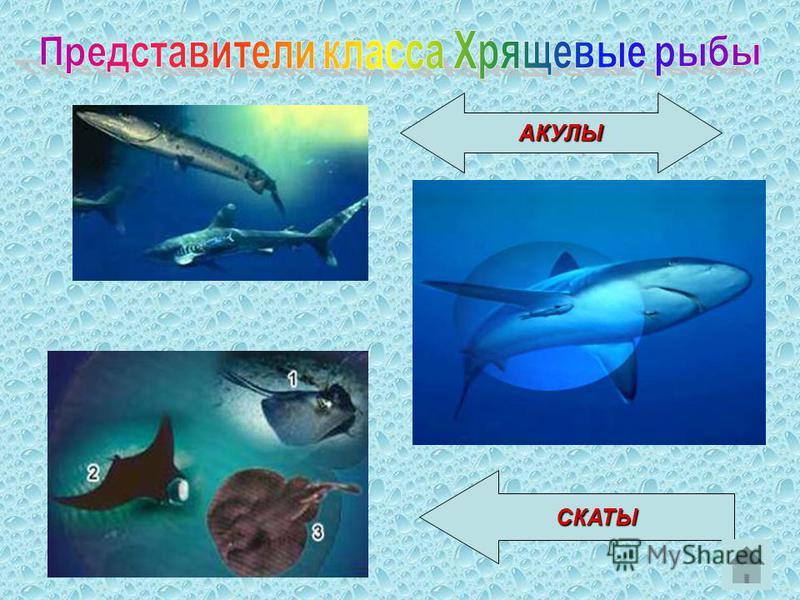 АКУЛЫ СКАТЫ