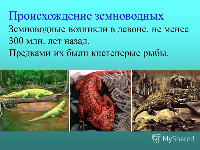 Происхождение земноводных Земноводные возникли в девоне, не менее 300 млн. лет назад. Предками их были кистеперые рыбы.