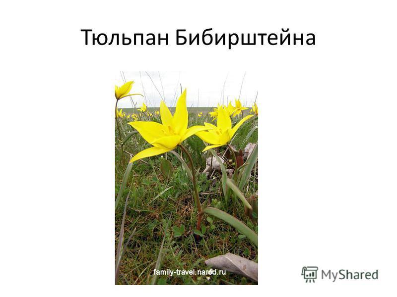Тюльпан Бибирштейна