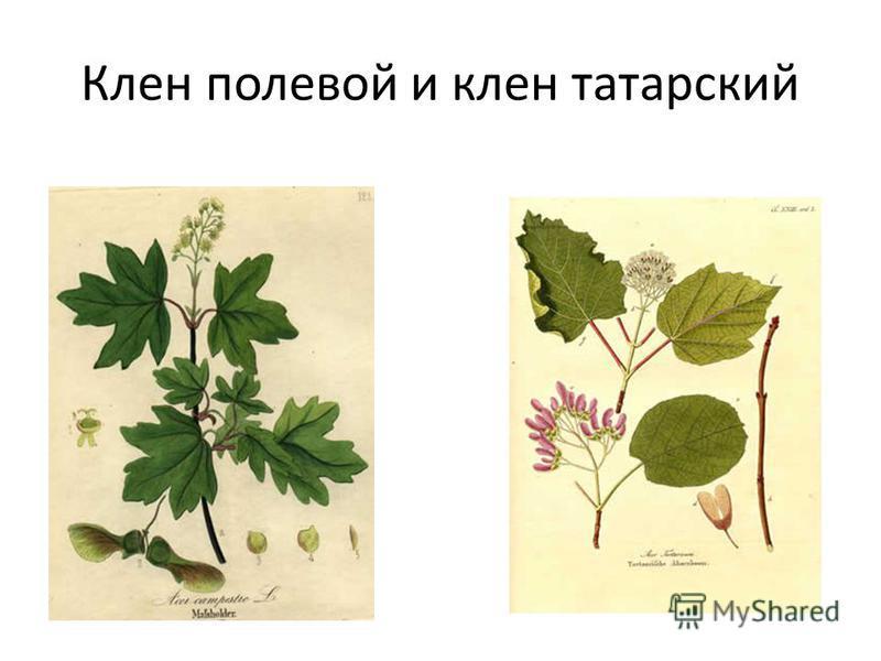 Клен полевой и клен татарский