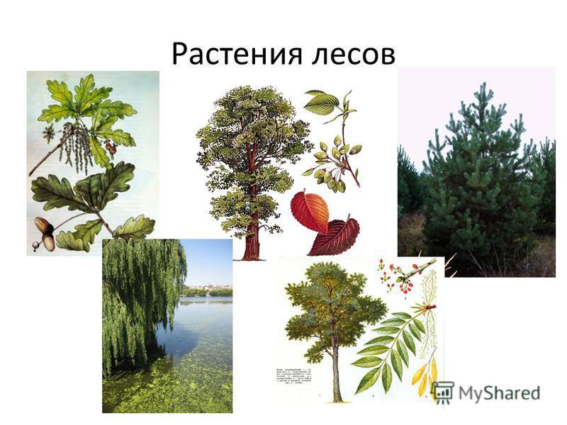 Растения лесов