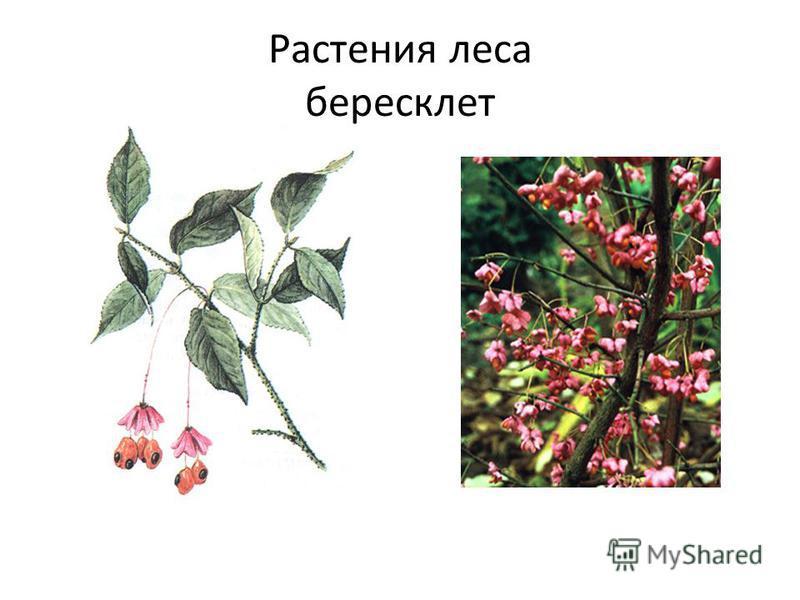 Растения леса бересклет