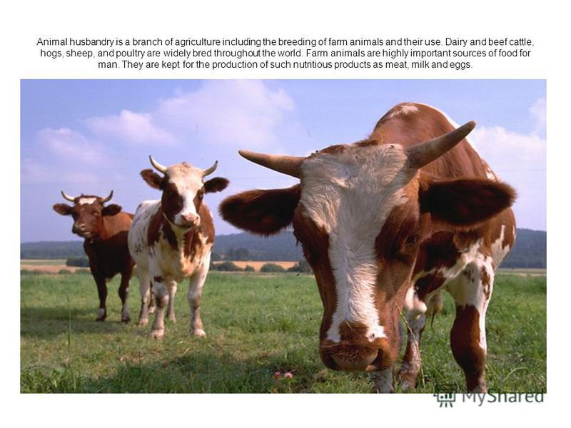 Animal husbandry is a branch of agriculture including the breeding of farm animals and their use. Dairy and beef cattle, hogs, sheep, and poultry are widely bred throughout the world. Farm animals are highly important sources of food for man. They ar