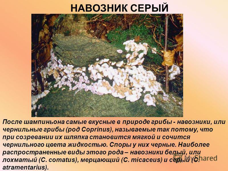 НАВОЗНИК СЕРЫЙ После шампиньона самые вкусные в природе грибы - навозники, или чернильные грибы (род Coprinus), называемые так потому, что при созревании их шляпка становится мягкой и сочится чернильного цвета жидкостью. Споры у них черные. Наиболее