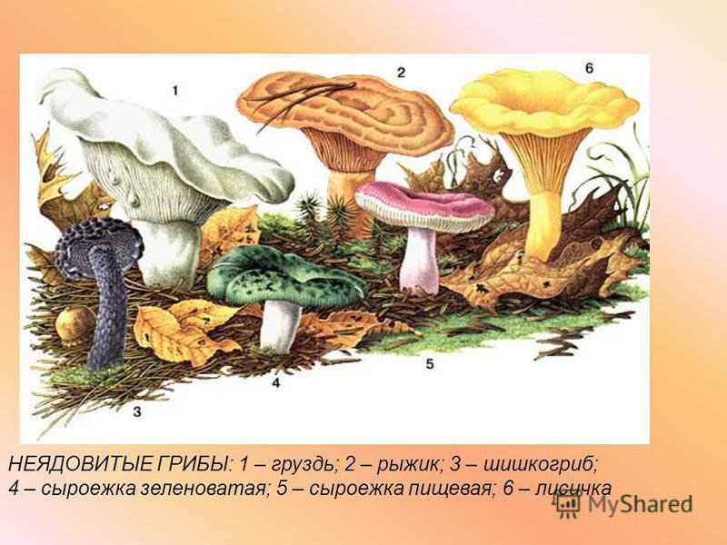 НЕЯДОВИТЫЕ ГРИБЫ: 1 – груздь; 2 – рыжик; 3 – шишкогриб; 4 – сыроежка зеленоватая; 5 – сыроежка пищевая; 6 – лисичка