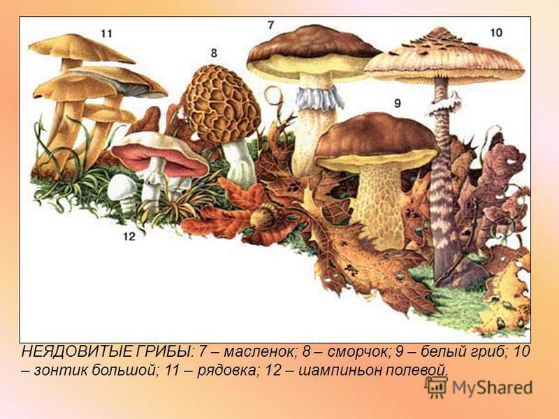 НЕЯДОВИТЫЕ ГРИБЫ: 7 – масленок; 8 – сморчок; 9 – белый гриб; 10 – зонтик большой; 11 – рядовка; 12 – шампиньон полевой.