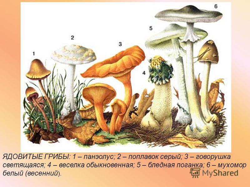 ЯДОВИТЫЕ ГРИБЫ: 1 – панэолус; 2 – поплавок серый; 3 – говорушка светящаяся; 4 – веселка обыкновенная; 5 – бледная поганка; 6 – мухомор белый (весенний ).