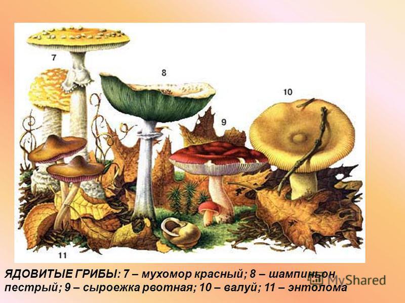 ЯДОВИТЫЕ ГРИБЫ: 7 – мухомор красный; 8 – шампиньон пестрый; 9 – сыроежка рвотная; 10 – валуй; 11 – энтолома