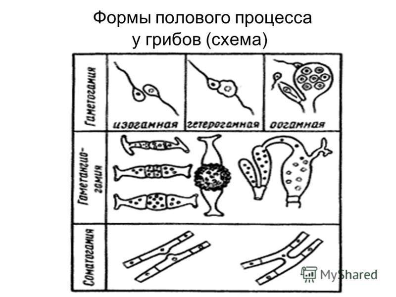 Формы полового процесса у грибов (схема)