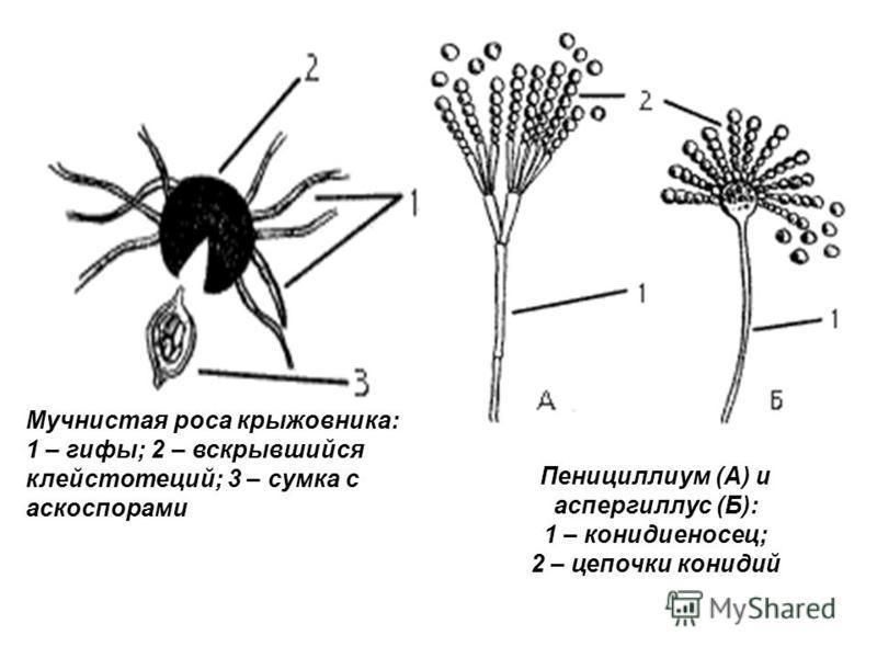 Мучнистая роса крыжовника: 1 – гифы; 2 – вскрывшийся клейстотеций; 3 – сумка с аскоспорами Пенициллиум (А) и аспергиллус (Б): 1 – конидиеносец; 2 – цепочки конидий
