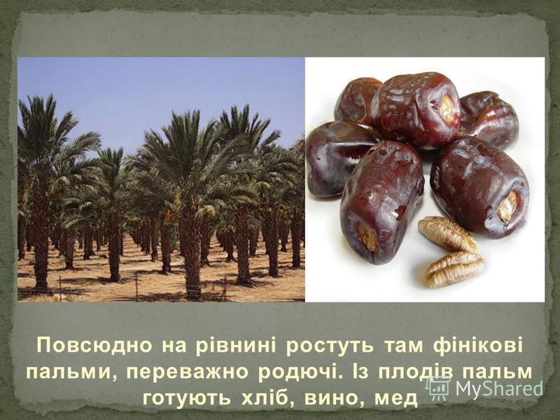 Повсюдно на рівнині ростуть там фінікові пальми, переважно родючі. Із плодів пальм готують хліб, вино, мед