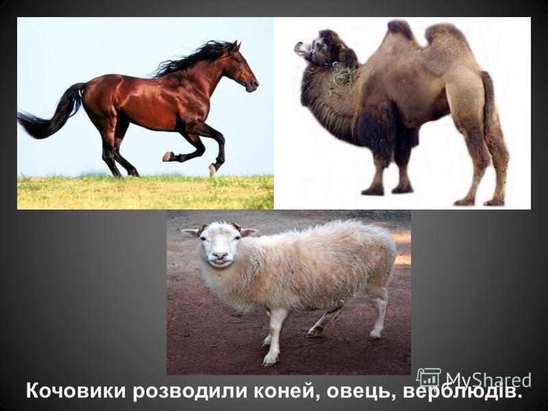 Кочовики розводили коней, овець, верблюдів.
