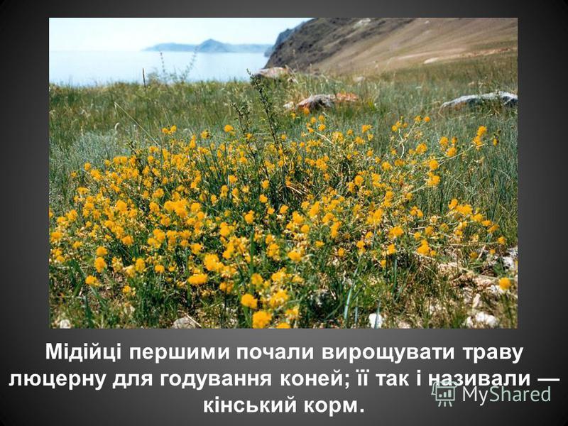 Мідійці першими почали вирощувати траву люцерну для годування коней; її так і називали кінський корм.