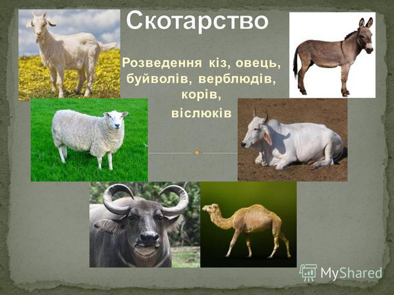 Розведення кіз, овець, буйволів, верблюдів, корів, віслюків