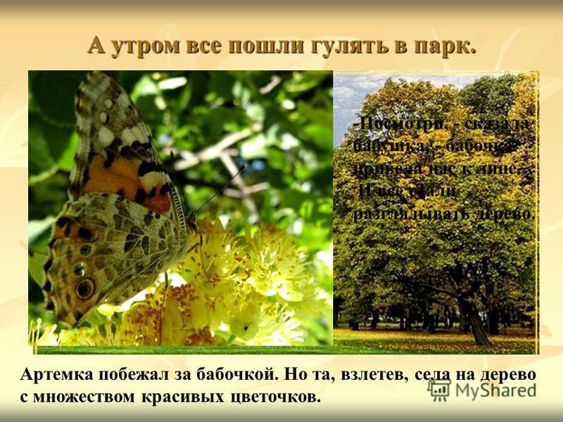 А утром все пошли гулять в парк. Артемка побежал за бабочкой. Но та, взлетев, села на дерево с множеством красивых цветочков. -Посмотри, - сказала бабушка, - бабочка привела нас к липе. И все стали разглядывать дерево.