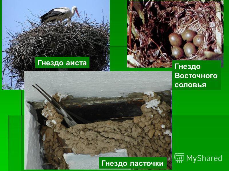 Гнездо ласточки Гнездо аиста Гнездо Восточного соловья