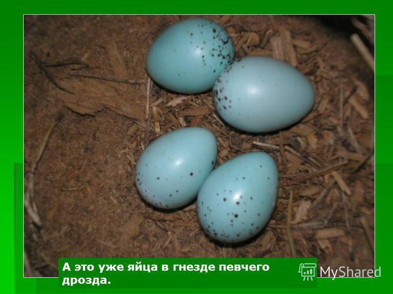 А это уже яйца в гнезде певчего дрозда.