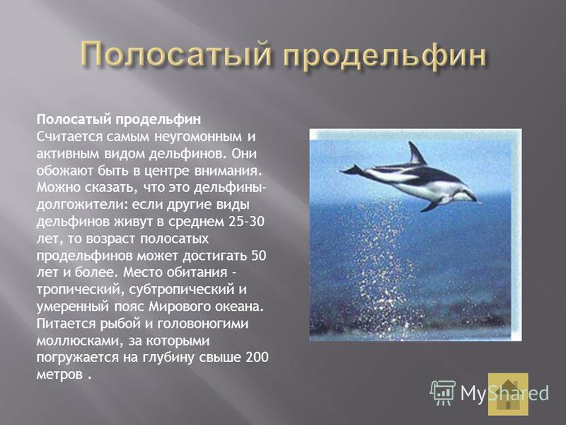 Полосатый продельфин Считается самым неугомонным и активным видом дельфинов. Они обожают быть в центре внимания. Можно сказать, что это дельфины- долгожители: если другие виды дельфинов живут в среднем 25-30 лет, то возраст полосатых продельфинов мож