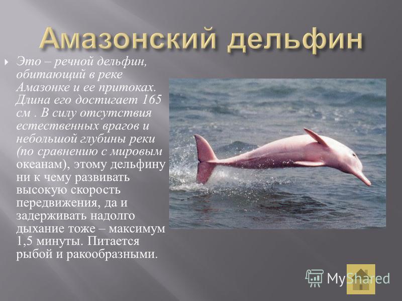 Это – речной дельфин, обитающий в реке Амазонке и ее притоках. Длина его достигает 165 см. В силу отсутствия естественных врагов и небольшой глубины реки ( по сравнению с мировым океанам ), этому дельфину ни к чему развивать высокую скорость передвиж