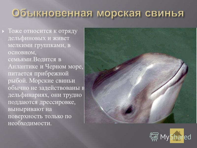Тоже относится к отряду дельфиновых и живет мелкими группками, в основном, семьями. Водится в Анлантике и Черном море, питается прибрежной рыбой. Морские свиньи обычно не задействованы в дельфинариях, они трудно поддаются дрессировке, выныривают на п