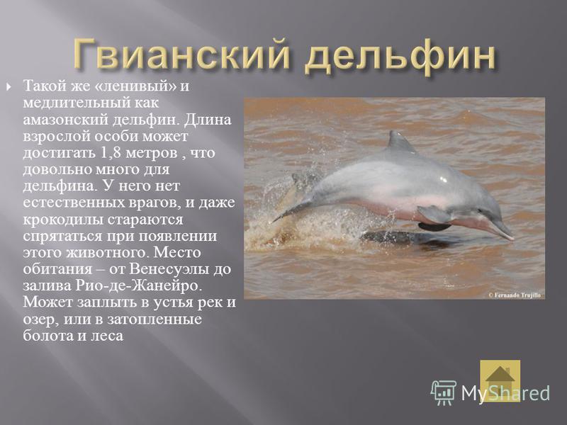Такой же « ленивый » и медлительный как амазонский дельфин. Длина взрослой особи может достигать 1,8 метров, что довольно много для дельфина. У него нет естественных врагов, и даже крокодилы стараются спрятаться при появлении этого животного. Место о