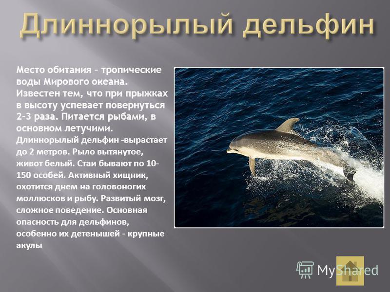 Место обитания – тропические воды Мирового океана. Известен тем, что при прыжках в высоту успевает повернуться 2-3 раза. Питается рыбами, в основном летучими. Длиннорылый дельфин -вырастает до 2 метров. Рыло вытянутое, живот белый. Стаи бывают по 10-