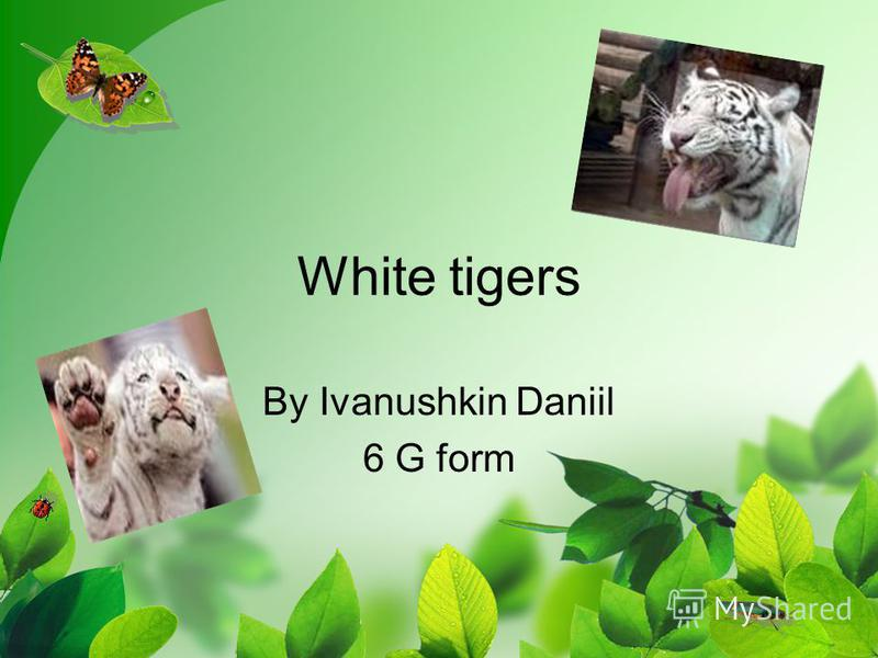 White tigers By Ivanushkin Daniil 6 G form