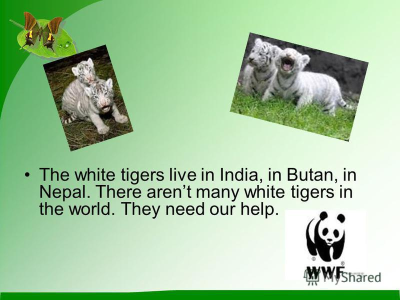 The white tigers live in India, in Butan, in Nepal. There arent many white tigers in the world. They need our help.