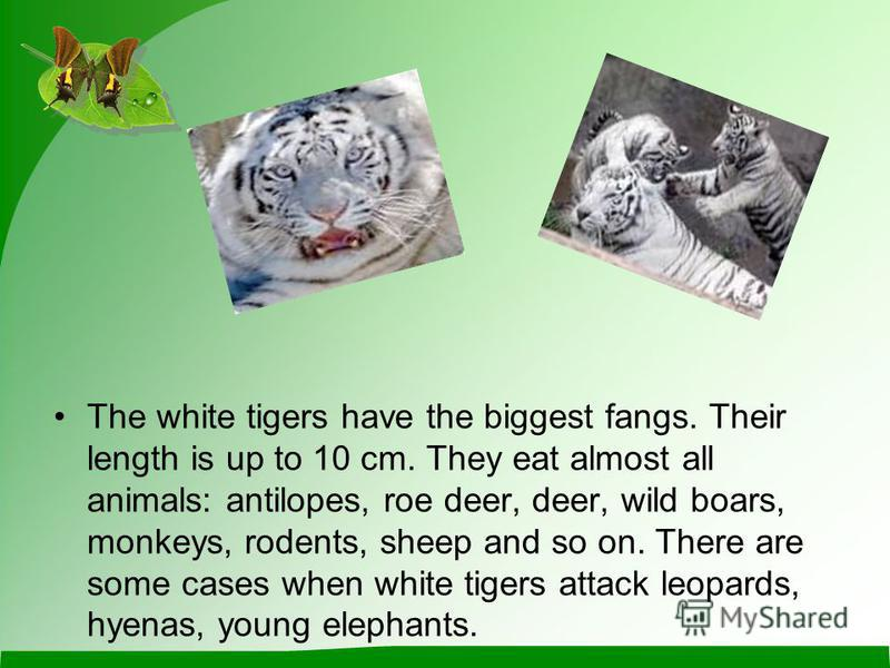 The white tigers have the biggest fangs. Their length is up to 10 сm. They eat almost all animals: antilopes, roe deer, deer, wild boars, monkeys, rodents, sheep and so on. There are some cases when white tigers attack leopards, hyenas, young elephan