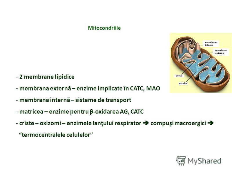 Mitocondriile - 2 membrane lipidice - membrana externă – enzime implicate în CATC, MAO - membrana internă – sisteme de transport - matricea – enzime pentru β-oxidarea AG, CATC - criste – oxizomi – enzimele lanţului respirator compuşi macroergici term