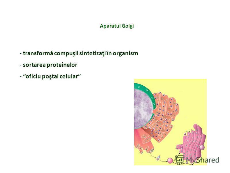 Aparatul Golgi - transformă compuşii sintetizaţi în organism - sortarea proteinelor - oficiu poştal celular