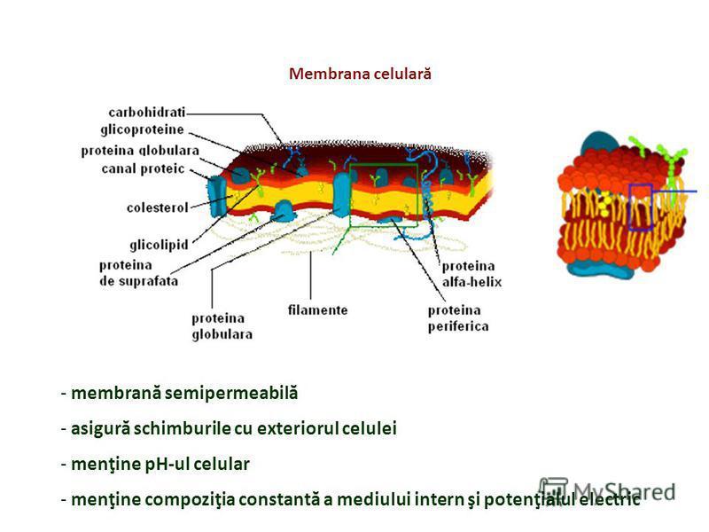 - membrană semipermeabilă - asigură schimburile cu exteriorul celulei - menţine pH-ul celular - menţine compoziţia constantă a mediului intern şi potenţialul electric Membrana celulară