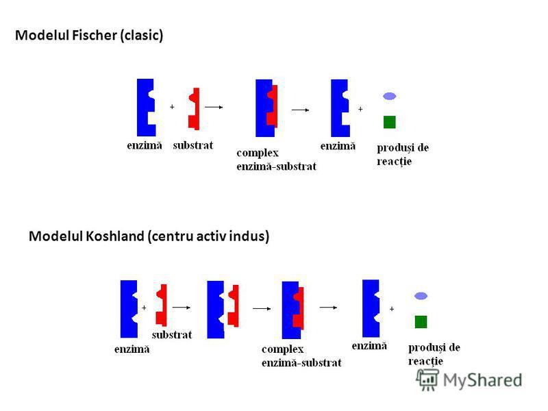 Modelul Fischer (clasic) Modelul Koshland (centru activ indus)