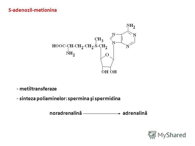 S-adenozil-metionina - metiltransferaze - sinteza poliaminelor: spermina şi spermidina noradrenalină adrenalină