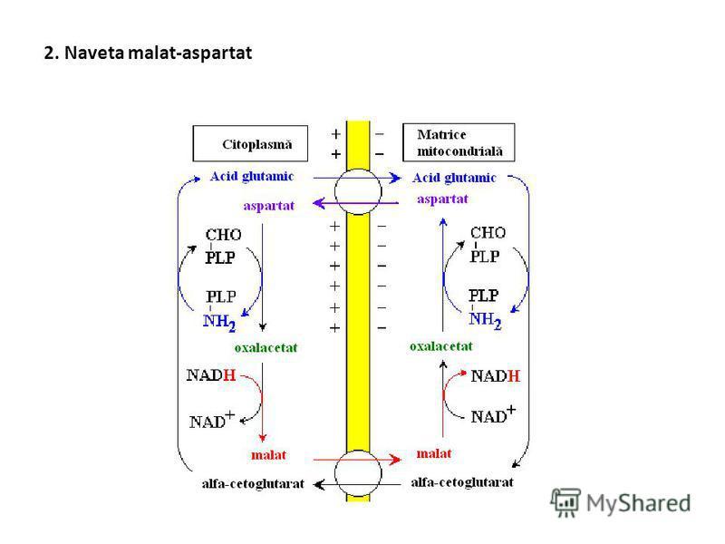Sisteme de transport a echivalenţilor reducători 1. Naveta glicerolfosfat