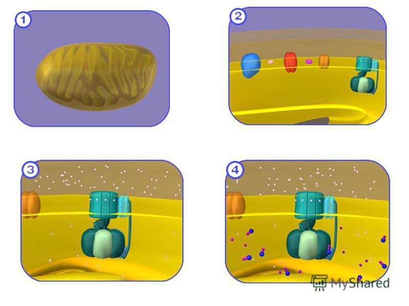 H+ din citoplasmă neutralizarea aspartatului din unit. C interacţiuni electrostatice rotirea c energie sinteza ATP