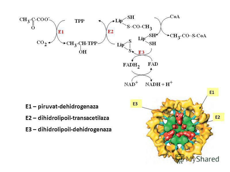 acetil CoA glicogen oxidare dezaminare aminoacizi hidroliză proteine lipoliză β-oxidare trigliceride acizi graşi piruvat glicogenoliză glucoză