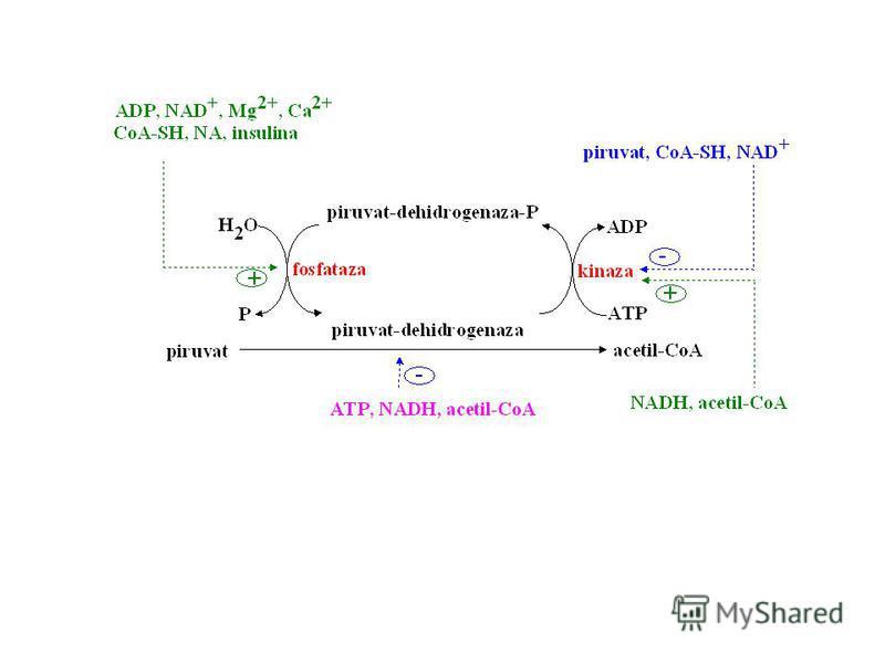 E1 – piruvat-dehidrogenaza E2 – dihidrolipoil-transacetilaza E3 – dihidrolipoil-dehidrogenaza E1 E3 E2