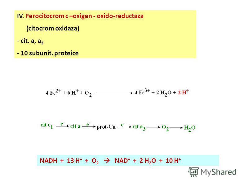 III. CoQ redusă-ferocitocrom c –oxido-reductaza (CoQ-citocrom c-reductaza; complexul citocrom bc 1 ) - b k, b T, 1 Fe-S - sd. Björnstad